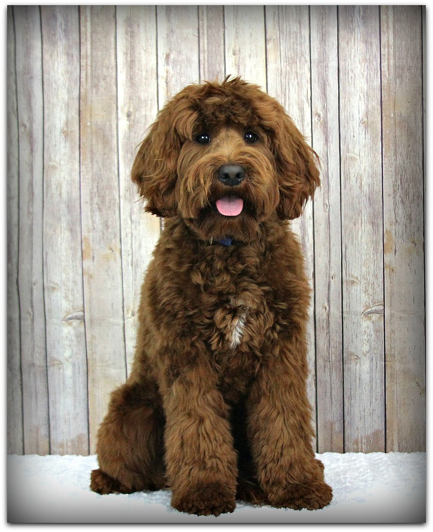 Red Australian Labradoodle