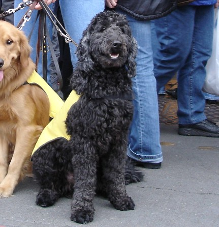 Labradoodle Service & Therapy Dogs | SCL
