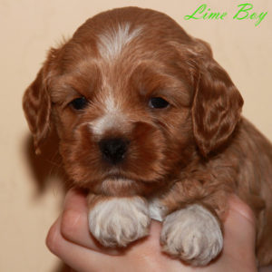 Apricot & White Labradoodle Puppy