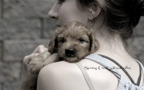 Labradoodle Puppies for Sale: ALAA Certified Breeder | SCL