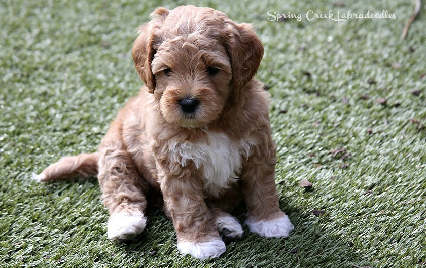 Labradoodle Puppies For Alaa