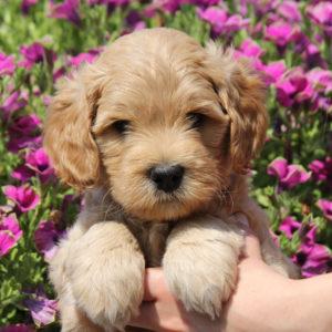 Cream Labadoodle Puppy