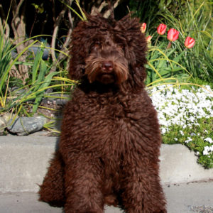 Chocolate Australian Labradoodle Dog