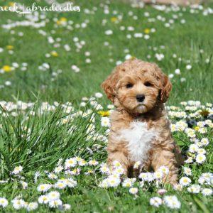 Apricot & White Australian Labradoodle Puppy