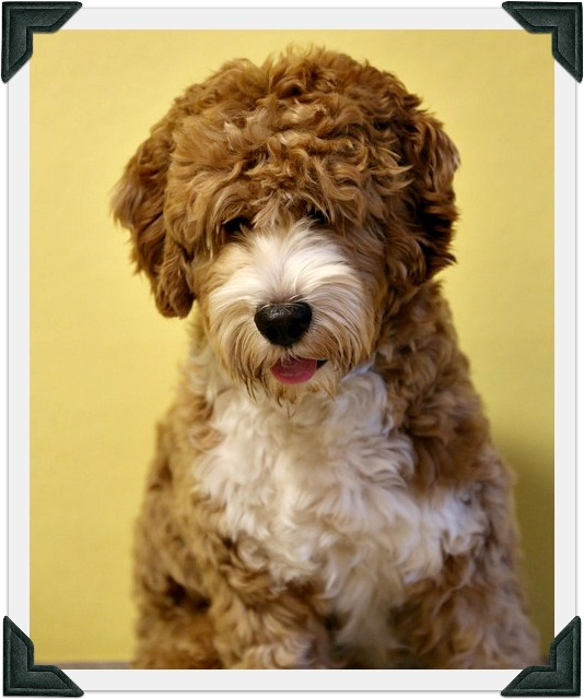 Australian Labradoodle Therapy Dog
