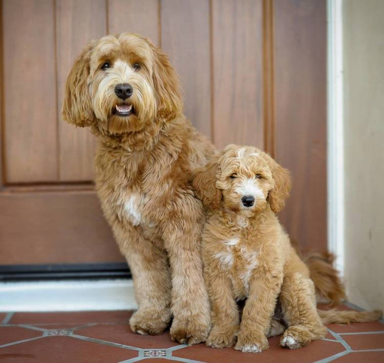 Haircuts For Goldendoodles Pictures: Labradoodle Grooming Guide